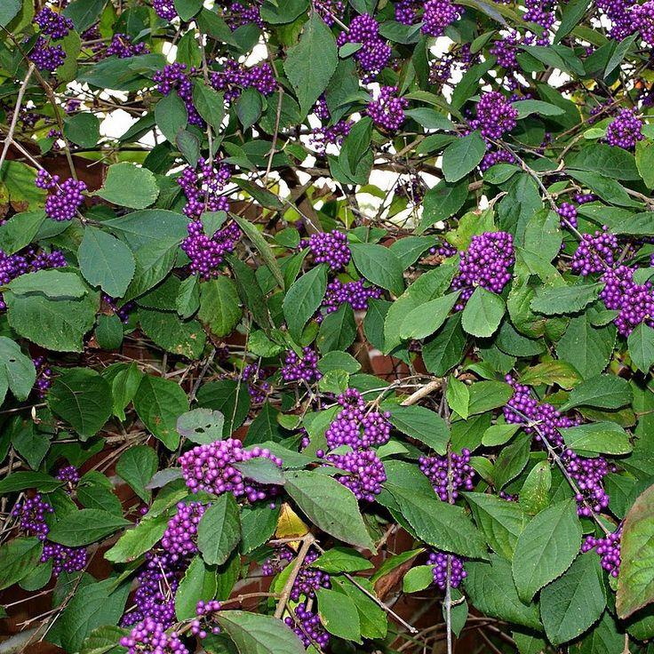 Callicarpa bodinieri 'Profusion' - Callicarpe - Arbuste aux bonbons violet