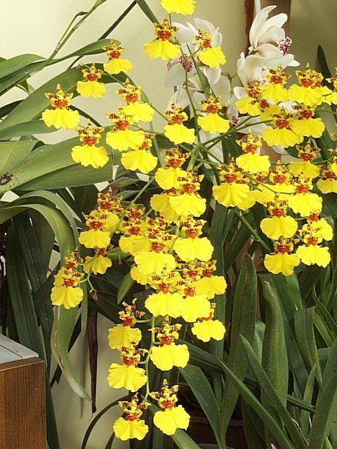 """GO TO www.aos.org/images/img_content/newsletter_issues/aug11.html FOR AWESOME CARE GUIDE for Oncidium """"Dancing Ladies"""""""