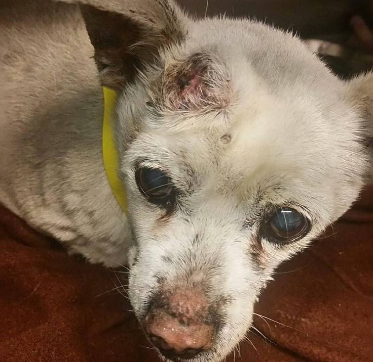 #Repost with @Repostlyapp @rescuesneedyou SENIOR HENRY NEEDS MEDICAL ASAP for abscess or head wound!!! We gotta get him OUT NOW! Please SHARE TAG & PLEDGE to SAVE his life! #saveHenryseaaca #1815910   Senior medical dog with abscess or head wound !! HENRY - 18-15910 Chihuahua | Adult | Male | Small http://www.seaaca.org/adoptions/view-our-animals?species=Dog&page=0&pet_id=18-15910 18-15910 is a white male adult dog that weighs approximately 7 lbs. He was impounded on 2/24/2018 from the City…