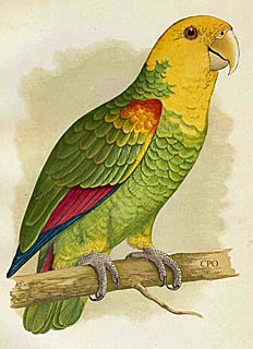 . looks like my Picasso, DYH AmazonPicasso, Parrots Illustration, Dyh Amazon, General