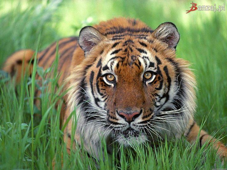 Tygrys - największy z żyjących kotów, który odznacza się wielką siłą oraz pięknym umaszczeniem futra.