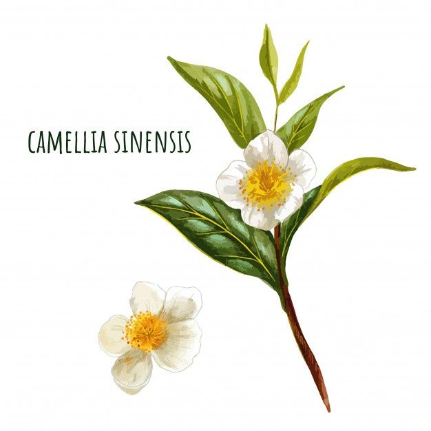 Camellia Sinensis Green Tea Branch With Flowers In 2020 Watercolor Flower Background Vintage Floral Backgrounds Camellia Flower