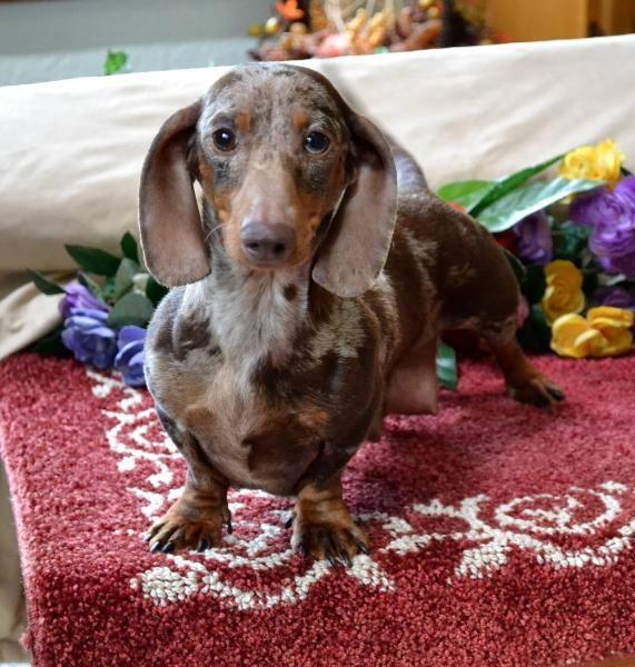 Mini Dachshund Puppies For Sale Black Tan Doxie Breeder Short Hair Pups Dachshund Puppy Miniature Dachshund Puppy Black Dapple Dachshund