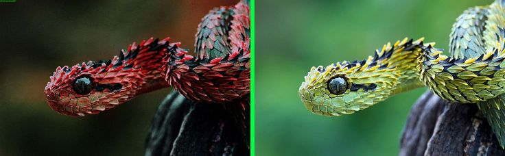 """Fake - Pinned as: """"Indonesian Autumn Adder"""" - The Atheris hispida, as shown on the right, is a venomous viper species endemic to Central Africa. It is known for its extremely keeled dorsal scales that give it an almost bristly appearance. Commonly called rough-scaled bush viper, spiny bush viper and hairy bush viper. No subspecies are currently recognized."""