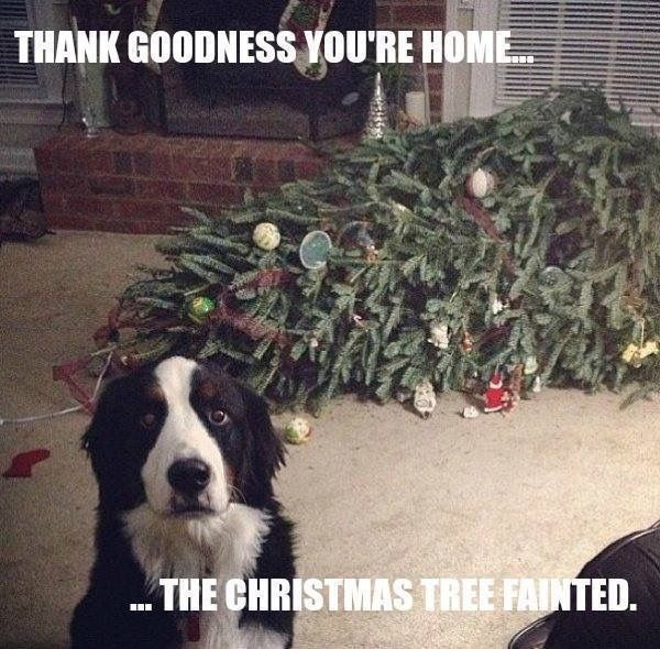 We don't have a dog, but we have had multiple Christmas trees faint...