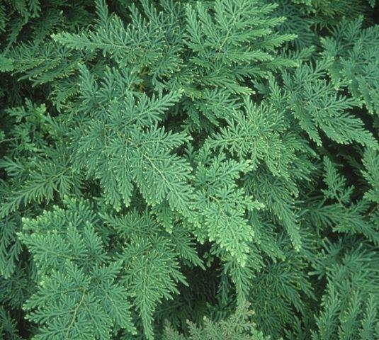 Braun's Arborvitae Fern for sale buy Selaginella braunii