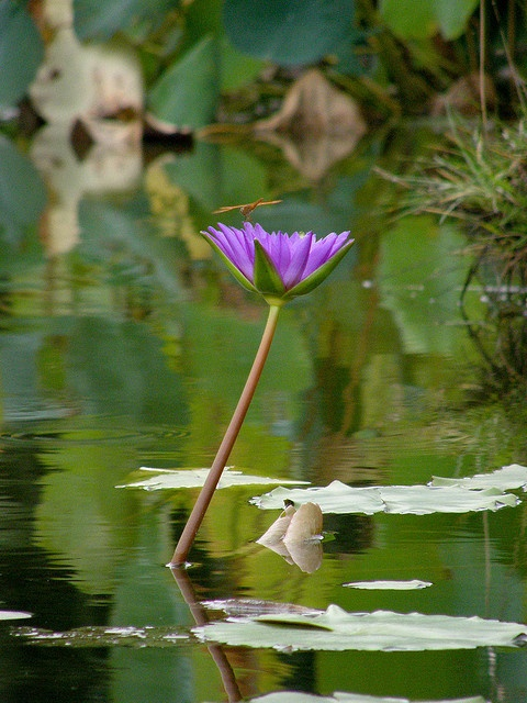 285 best purple lotus flowers images on pinterest lotus flower water lilly mightylinksfo