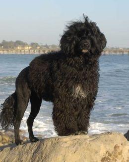Portuguese Water Dog / Cão de Água Português / PWD