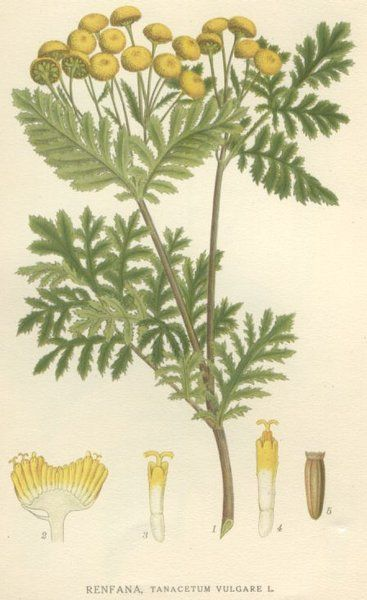 Wrotycz pospolity (Tanacetum vulgare) - Szukaj w Google