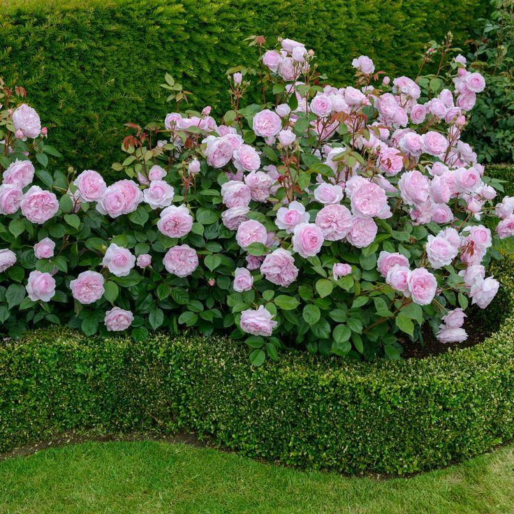 "English Rose 'Olivia Rose Austin' - David Austin Roses. 36-42"" tall."