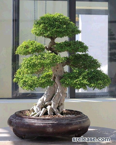 bonsai+trees+for+beginners | bonsai trees for beginners, bonsai tutorial #bonsaitrees
