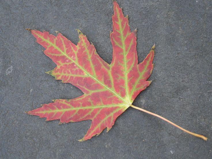 Autumnal / fall maple leaf  September 2014