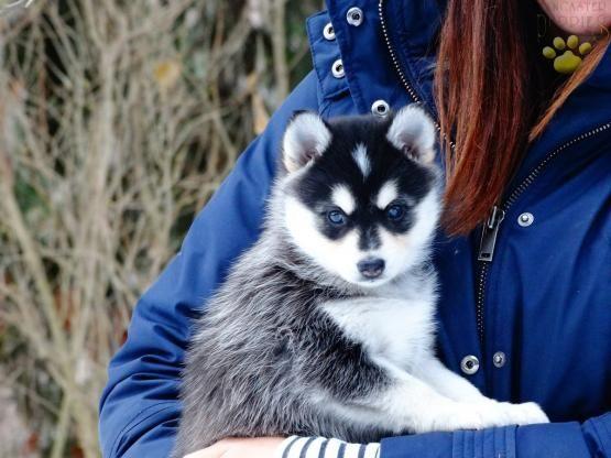 ◄ What A Little Cutie-Pie ► #MiniHusky #Pomeranian #SiberianHusky #PomskyPup #PomskyPuppies #Pomsky #PomskyLove #BuckeyePuppies #Puppies #Pups #Pup #Puppy #Funloving #Sweet #PuppyLove #Cute #Cuddly #ForTheLoveOfADog #MansBestFriend #ChildrenFriendly #puppyandChildren #ChildandPuppy www.BuckeyePuppies.com