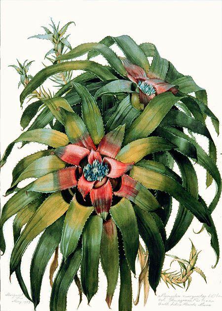 Neoregelia margaretae (família Bromeliaceae), grafite e gouache sobre papel, Margaret Mee
