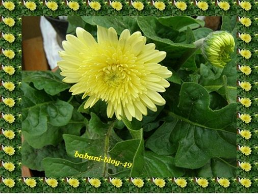 """Kwiaty doniczkowe w moim ogrodzie   Gerbery … kupił mąż za złotówkę (1 doniczka), były takie marne, mikre, dosłownie """"zdechłe"""". Myśleliśmy, że nic z nich nie będzie. Jednak się myliliśmy, po pewnym czasie wyrosły z nich piękne kwiaty …"""