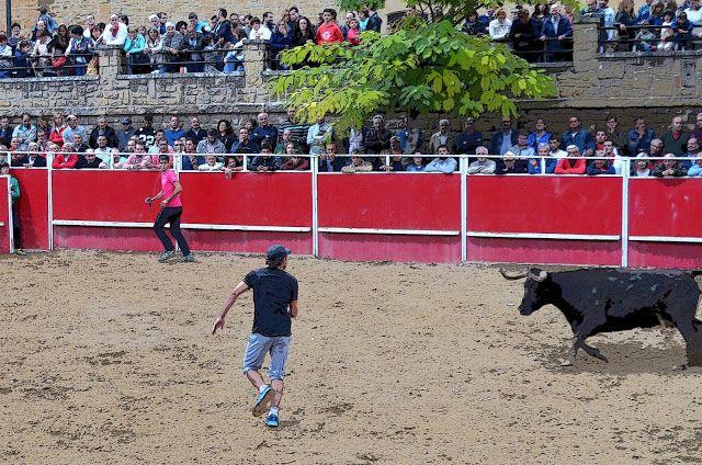 Santacara: Vacas Merino de Marcilla en Santacara (2)