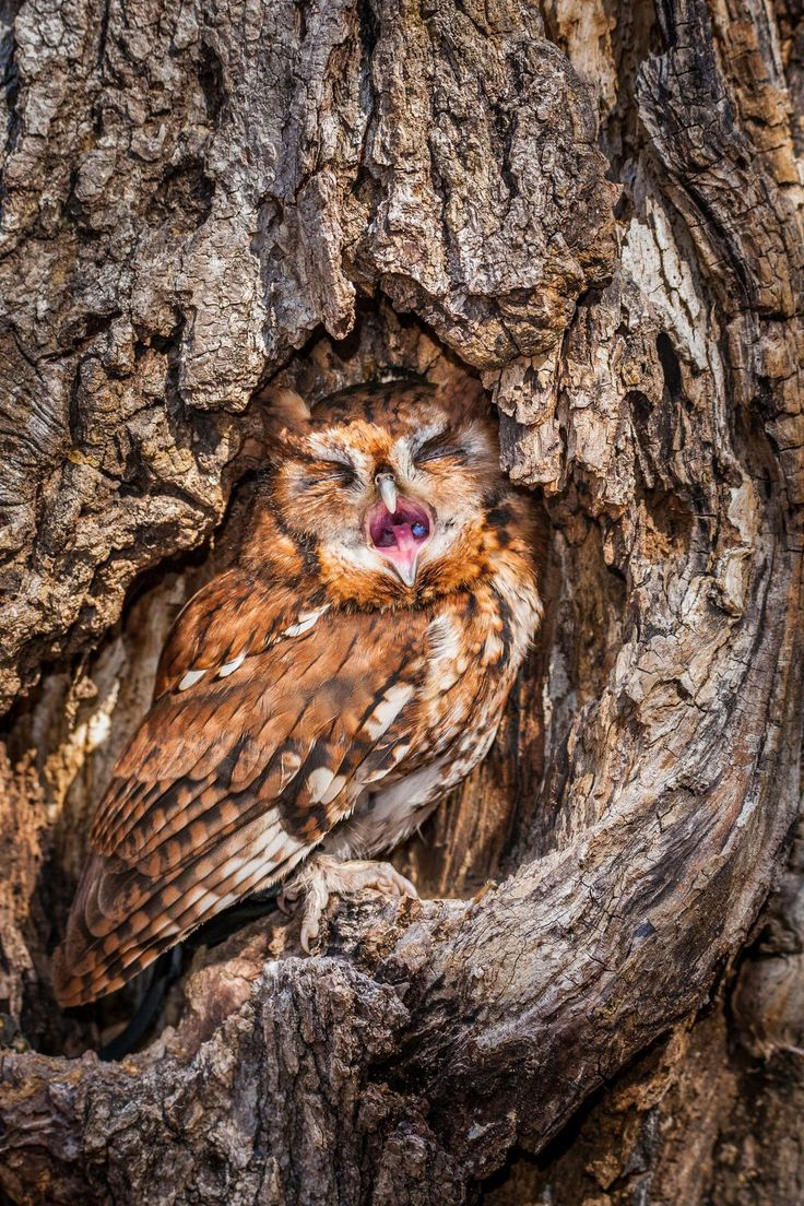 429 best raptors images on pinterest | gifs, great grey owl and