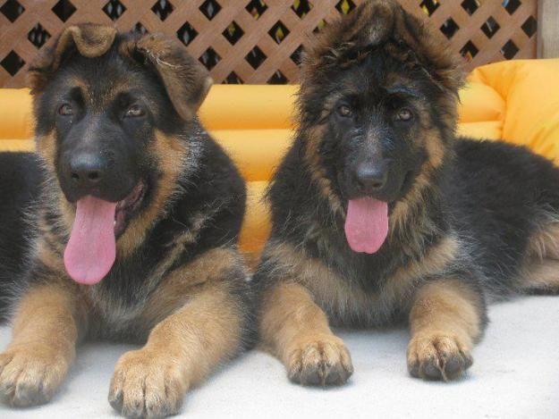 Pure German Shepherd P...