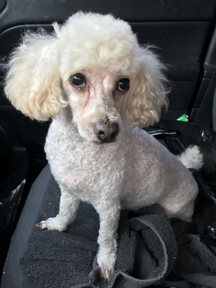 Poodle (Miniature) dog for Adoption in Wylie, TX. ADN-695207 on PuppyFinder.com Gender: Male. Age: Senior