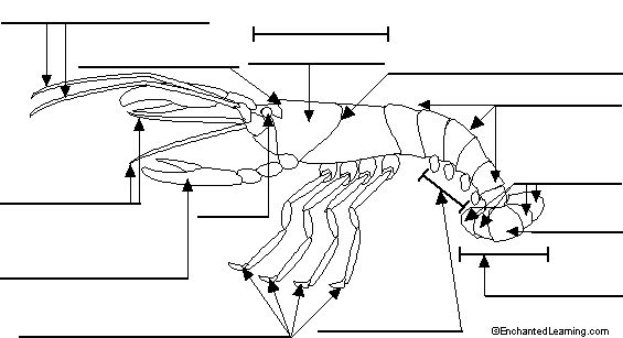 Frog Integumentary System Diagram Cycle 1 Week 7 Fill In The Blank Crayfish Worksheet