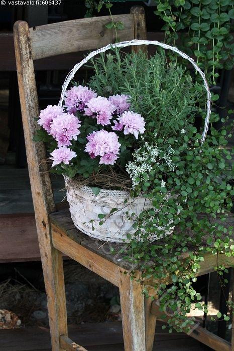 Nimipäiväkukkia - krysanteemi kryssa lila krysanteemit kryssa lilat violetti violetit kukka kukat kukkia kasvi kasvit ruukkukasvi ruukkukasvit viherkasvi laventeli kori  asetelam kukka-asetelma nimipäiväkukat kukkakori tuoli vanha rapistunut kulunut puinen puutuoli ulkona kesä kesäinen suvi