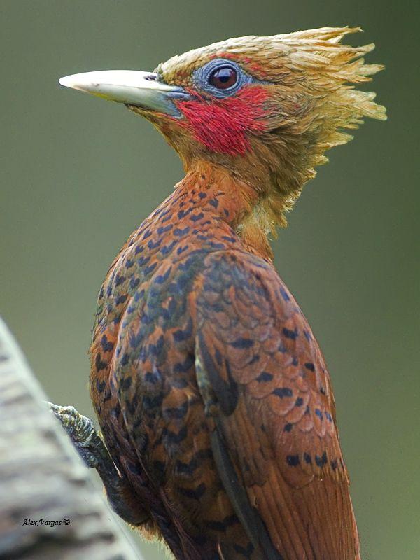 Chestnut-colored Woodpecker, Celeus castaneus: MX/CntAm
