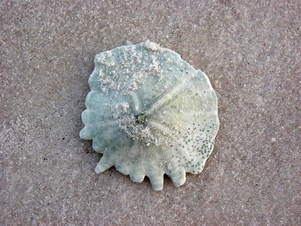 Sand Dollar, Port Gentil, Gabon, Africa