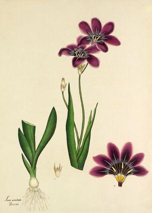 'Ixia aristata' -- Illustrations -- Flowers -- RHS Prints