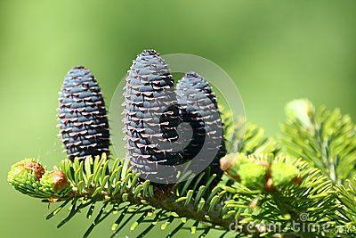 Fresh fir cone in spring time