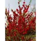 Proven Winners Double Take Scarlet Storm ColorChoice Chaenomeles 1 gal. Shrub-CHAPRC0086101 - The Home Depot