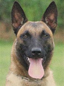 Belgian Malinois Photos | ... Dogs For Sale | Belgian Malinois K-9 Police Dogs | Ruidoso Malinois