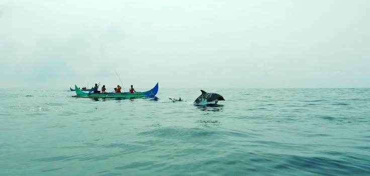 Selain di Pantai Lovina, Bali, ternyata kita juga bisa melihat atraksi lumba-lumba secara langsung di habitatnya di Teluk Kiluan, Lampung.