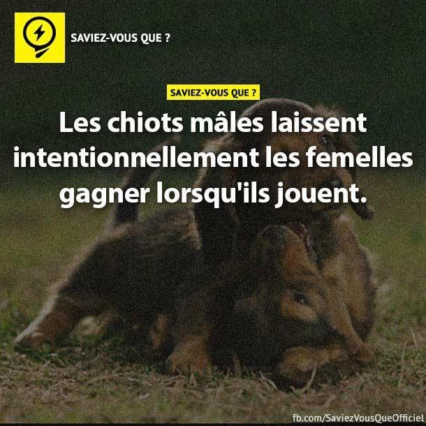 Les chiots mâles laissent intentionnellement les femelles gagner lorsqu'ils jouent.