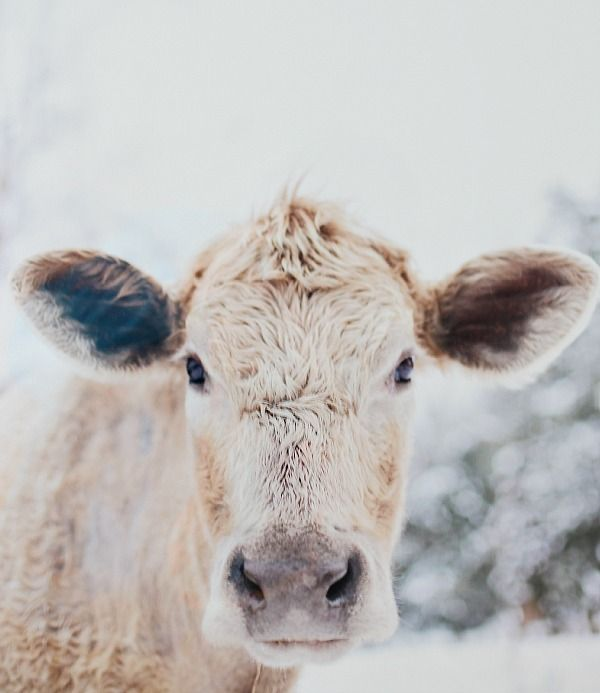 Minted has awesome limited edition prints from fabulous artist, I fell in love with this one! Moo Cow from Minted. Perfect to complete the farmhouse decor.