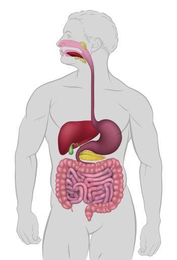 Human Digestion: Main & Accessory Organs in 2020 | Human ...