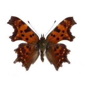 Vlinders :: Polygonia c-album - Gehakkelde aurelia
