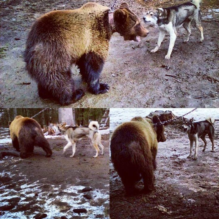 С трёх сторон обложили #берлогу мою. Вот на #ружьях стрелки повзводили курки Что-бы выпустить мне все наружу кишки, Уже подали знак и спустили собак И #охота пошла, на меня, просто так.  Мне осталось реветь- Обнажая клыки-  Я ведь бурый медведь!  Я хозяин тайги!  Впопыхах покидаю берлогу свою-  Я собак раскидаю в неравном бою,  Раскаляя свой пыл в предвкушении борьбы Вылезая из жил, я встаю на дыбы.  Сотрясая в конец во мне весь холодец- Мою шкуру дырявит проворный свинец,  Я бросаюсь в…