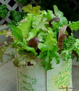 Plant lettuce in a shopping bag !