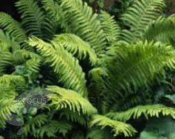 Buy soft shield fern (syn. Plumosum Densum) Polystichum setiferum 'Plumosomultilobum Group': Delivery by Crocus.co.uk