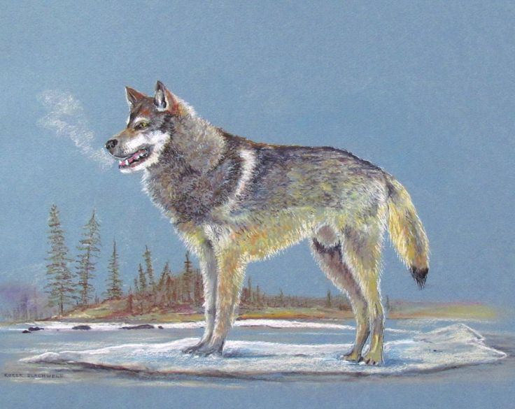 Timber Wolf in pastel pencils