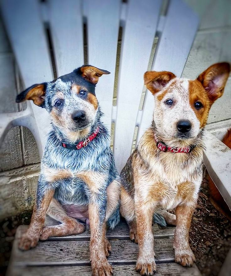 Blue and red heeler