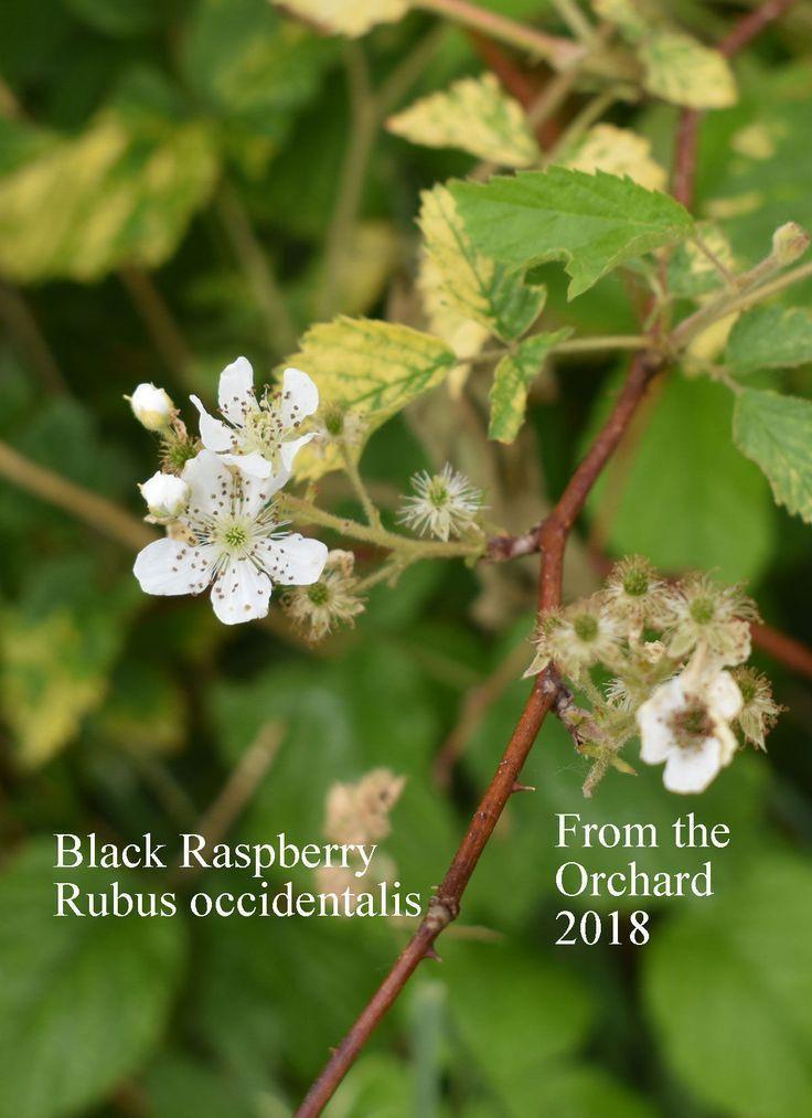 Black Raspberry Fruit Tree Seed Tree Seeds Growing Raspberries Buy Fruit Trees