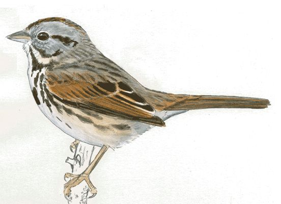 Are you looking for help drawing birds? Free tutorials, animations, and details of bird anatomy and structure to help you learn to draw birds.