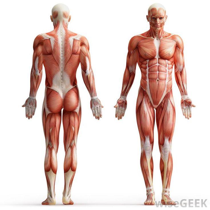 best 10+ muscular strength ideas on pinterest | beginner strength, Muscles