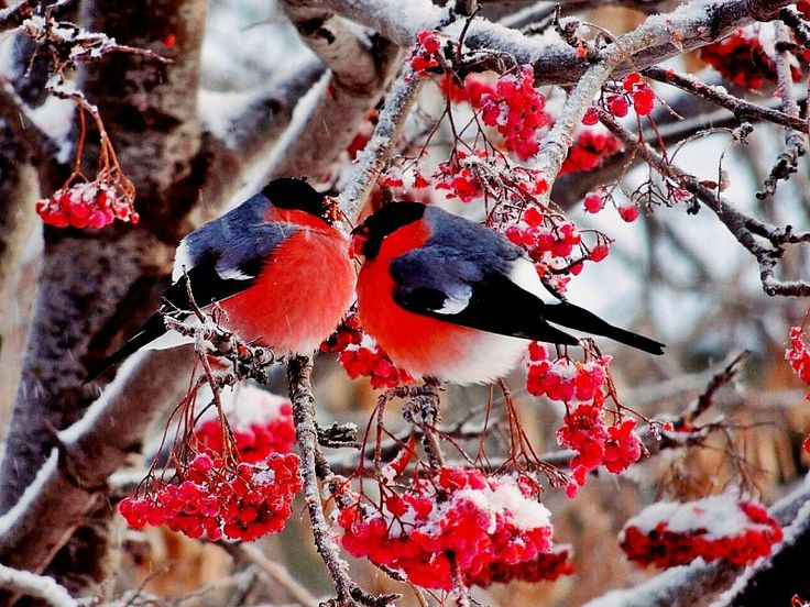 Играть в пазл (192 элемента) - Снегири | Нарисовать птицу ...