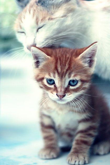 .Cat, Friends, Mothers, Burnt Orange, Baby Kittens, Blue Eye, Kitty Lick, Adorable Animal, Bath Time