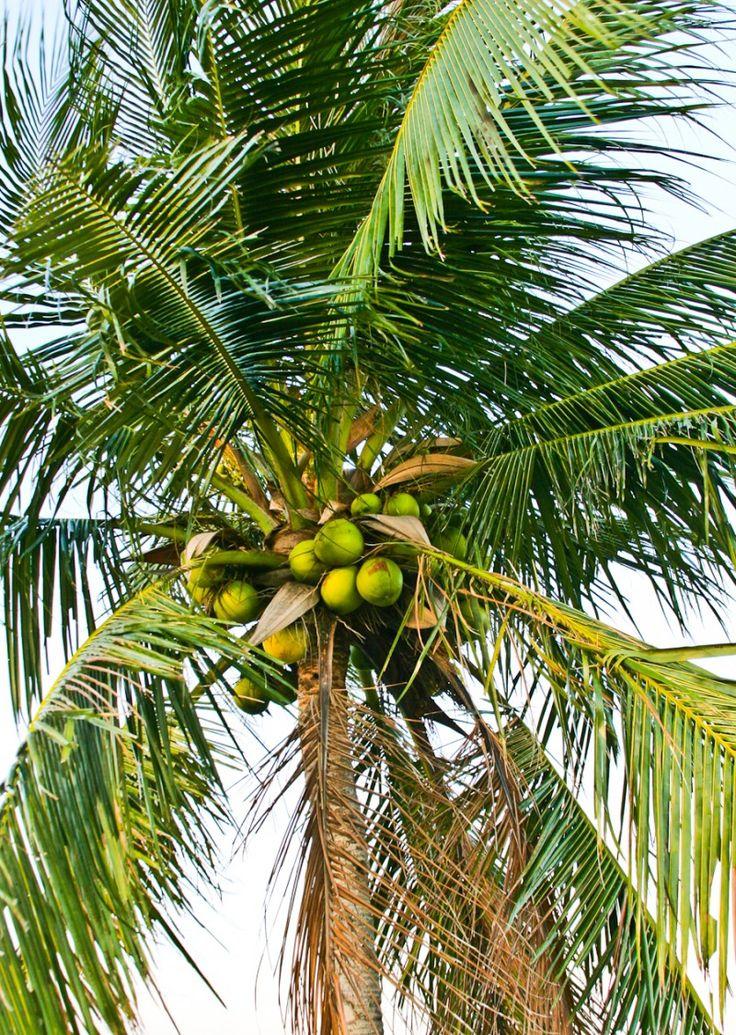 этого картинки где растут кокосы внимание