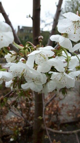 Kersenboom bloeit ook