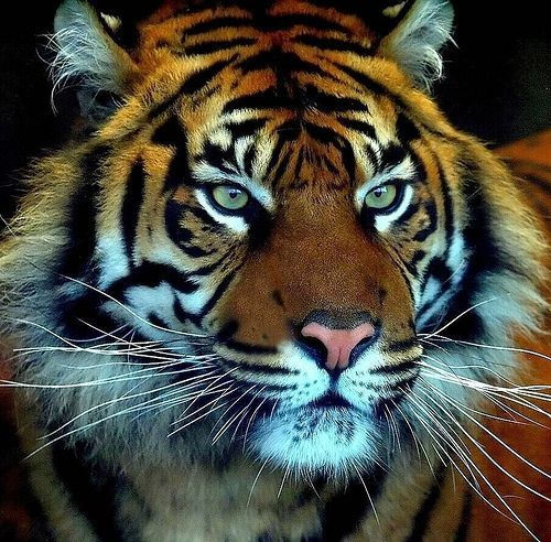 The Sumatran Tiger is in grave danger of extinction because of poaching and threats to their natural habitat. Logging for the production of toilet paper has been a major threat to these savagely remarkable animals. The Sumatran tiger has inspired legends and was once highly respected. They must be protected before they become only part of a myth and no longer inhabit our world.