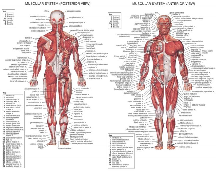 8 best anatomy images on pinterest | human anatomy, human body and, Muscles